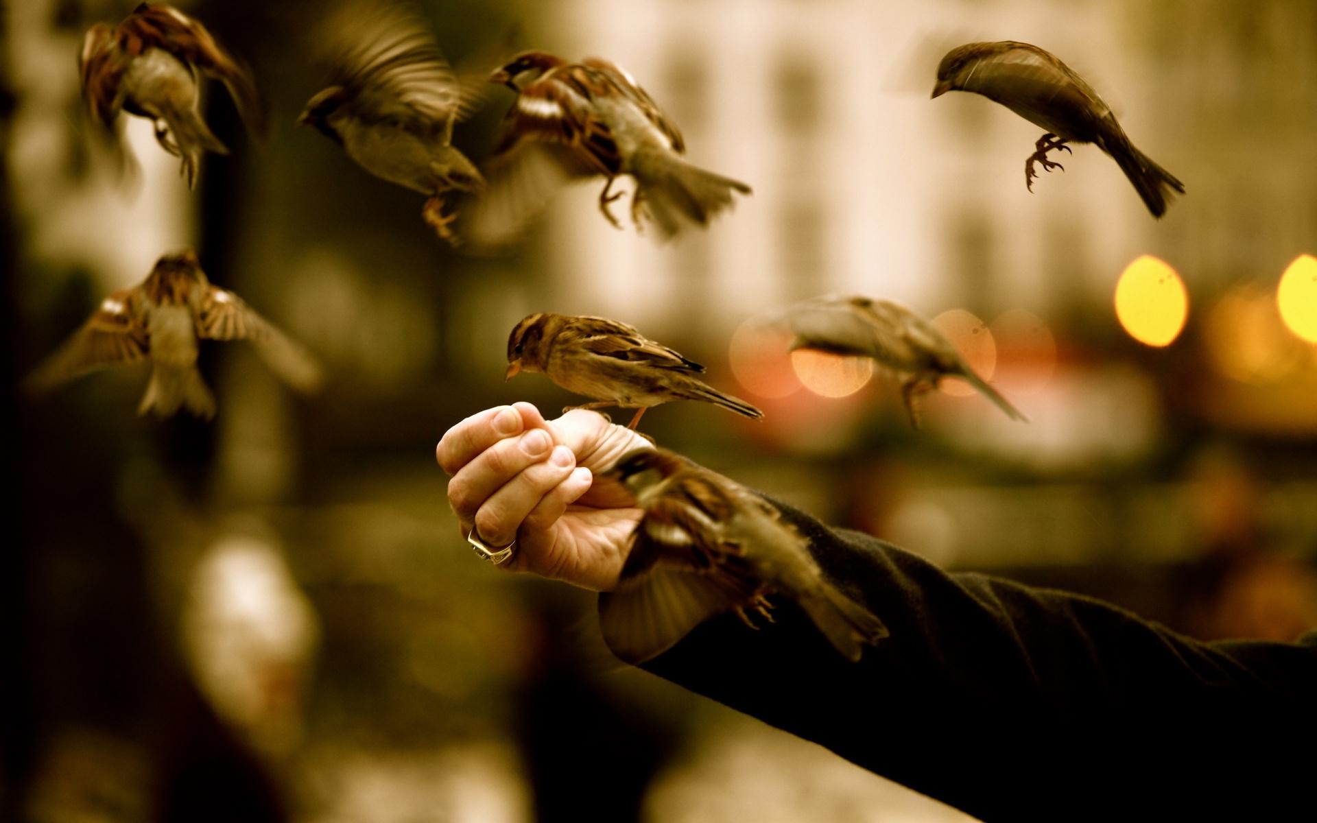 Sparrows-Birds-HD-Wallpapers
